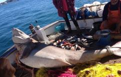 ΝΕΑ ΕΙΔΗΣΕΙΣ (Καρχαρία 2,5 μέτρων έπιασε ψαράς στον Πόρο)