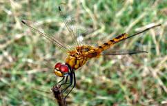 ΝΕΑ ΕΙΔΗΣΕΙΣ (Αυτό είναι το έντομο που διανύει τις μεγαλύτερες αποστάσεις στον κόσμο)