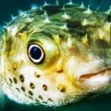 ΝΕΑ ΕΙΔΗΣΕΙΣ (Σπάνιο ψάρι ξεβράστηκε στην ακτή της Καλιφόρνια)