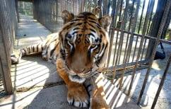 ΝΕΑ ΕΙΔΗΣΕΙΣ (Πήδηξε στο κλουβί με τις τίγρεις για να πιάσει το… καπέλο της! (ΒΙΝΤΕΟ))