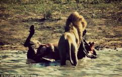 ΝΕΑ ΕΙΔΗΣΕΙΣ (Λιοντάρι αρπάζει το αγέννητο μωρό βουβαλιού, που μόλις σκότωσε και το τρώει! (ΒΙΝΤΕΟ))