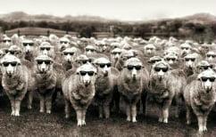 ΝΕΑ ΕΙΔΗΣΕΙΣ (Η… επίθεση των αμνών: Πρόβατα έφαγαν κάνναβη και έκαναν επιδρομή σε χωριό!)