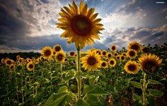 ΝΕΑ ΕΙΔΗΣΕΙΣ (Μελέτη αποκαλύπτει γιατί τα ηλιοτρόπια ακολουθούν τον ήλιο)