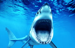 """ΝΕΑ ΕΙΔΗΣΕΙΣ (""""Μαθουσάλες"""" οι καρχαρίες της Γροιλανδίας – Πόσους αιώνες ζούνε)"""