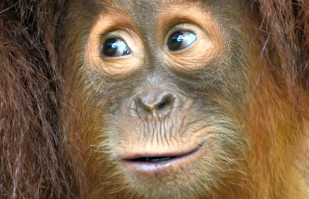 orangutan_H_630_450
