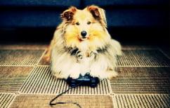 """ΝΕΑ ΕΙΔΗΣΕΙΣ (Αφοσιωμένος """"gamer"""" σκύλος δεν αποσυντονίζεται ούτε από τις… πονηρές διαθέσεις του τσιουάουα! (ΒΙΝΤΕΟ))"""