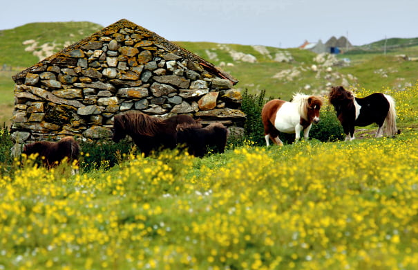 shetland_pony_south_nesting.1680x0