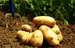 ΝΕΑ ΕΙΔΗΣΕΙΣ (Πότε οι πατάτες μπορεί να προκαλέσουν δηλητηρίαση)