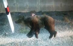 ΝΕΑ ΕΙΔΗΣΕΙΣ (Κοζάνη: Νεκρή αρκούδα σε τροχαίο με φορτηγό (pic))