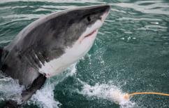 ΝΕΑ ΕΙΔΗΣΕΙΣ (Το DNA του μεγάλου λευκού καρχαρία κρύβει χρήσιμα μυστικά κατά του καρκίνου)