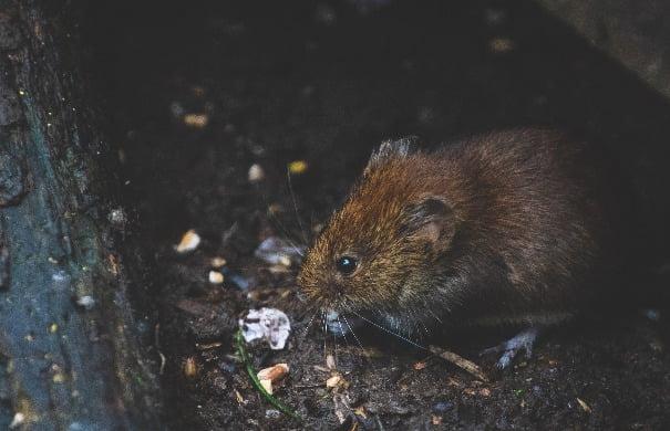 closeup-photo-of-tan-rat-1010267 (1)