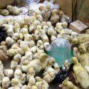 ΝΕΑ ΕΙΔΗΣΕΙΣ (ICAP: Σημαντικές επιπτώσεις της πανδημίας στη Πτηνοτροφία)