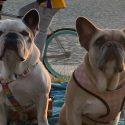 ΝΕΑ ΕΙΔΗΣΕΙΣ (ΗΠΑ: Βρέθηκαν τα σκυλιά της Lady Gaga μετά την αμοιβή που προσέφερε η τραγουδίστρια)