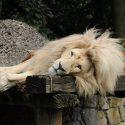 ΝΕΑ ΕΙΔΗΣΕΙΣ (Θετικά στον κορωνοϊό για «πρώτη φορά στην Ινδία» οκτώ λιοντάρια σε ζωολογικό πάρκο)